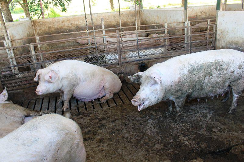 Schweine/Südafrika