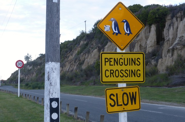 Pinguine in Oamaru